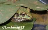 Cyclorana alboguttata - Striped Burrowing Frog GSY-584 ©Gunther Schmida -Lochman LT