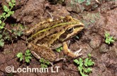 Cyclorana alboguttata - Striped Burrowing Frog HD-299 ©Hans & Judy Beste -Lochman LT