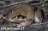 Cyclorana australis - Giant Frog DBY-765 ©Dennis Sarson - Lochman LT