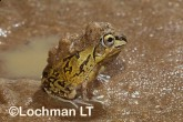Cyclorana brevipes -Short-footed Frog HFY-113 ©Hans & Judy Beste -Lochman LT