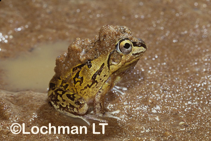 Short-footed Frog