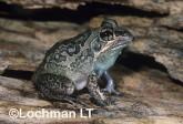 Cyclorana brevipes -Short-footed Frog HFY-118 ©Hans & Judy Beste -Lochman LT