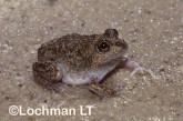 Cyclorana cryptotis -Hidden-ear Frog HFY-123 ©Hans & Judy Beste -Lochman LT