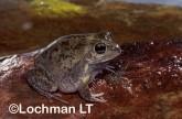 Cyclorana cultripes -Knife-footed Frog HFY-141 ©Hans & Judy Beste -Lochman LT