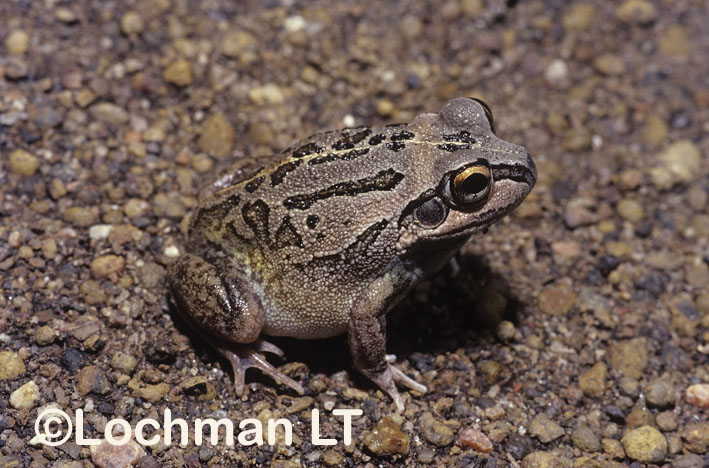 Long-footed Frog