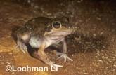 Cyclorana maini - Main's Frog YBY-315 ©Jiri Lochman - Lochman LT