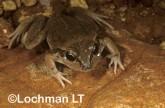 Cyclorana maini - Main's Frog YBY-319 ©Jiri Lochman - Lochman LT