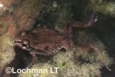 Cyclorana maini - Main's Frog YYY-765 ©Jiri Lochman - Lochman LT