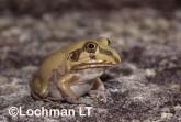 Cyclorana novaehollandiae -Giant Water-holding Frog GSY-237 ©Gunther Schmida -Lochman LT