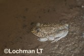 Cyclorana novaehollandiae -Giant Water-holding Frog LLP-423 ©Jiri Lochman - Lochman LT