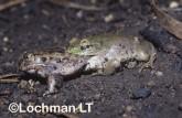 Cyclorana platycephala -Water-holding Frog GSY-198 ©Gunther Schmida -Lochman LT