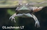 Cyclorana platycephala -Water-holding Frog GSY-552 ©Gunther Schmida -Lochman LT