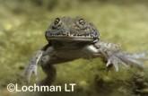 Cyclorana platycephala -Water-holding Frog GSY-554 ©Gunther Schmida -Lochman LT