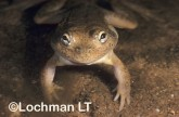 Cyclorana platycephala -Water-holding Frog XXY-759 ©Jiri Lochman - Lochman LT