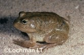 Cyclorana platycephala -Water-holding Frog YYY-750 ©Jiri Lochman - Lochman LT