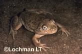 Cyclorana platycephala -Water-holding Frog YYY-759 ©Jiri Lochman - Lochman LT