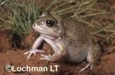 Cyclorana vagita - Wailing Frog GHD-085 ©Greg Harold - Lochman LT