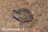 Cyclorana vagita - Wailing Frog HFY-273 ©Hans & Judy Beste - Lochman LT