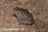 Cyclorana vagita - Wailing Frog HFY-280 ©Hans & Judy Beste - Lochman LT