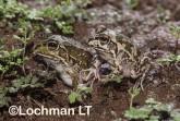 Cyclorana verrucousa - Rough Frog HFY-281 ©Hans & Judy Beste - Lochman LT