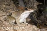 Hylarana daemeli - Wood Frog LLE-666 ©Jiri Lochman - Lochman LT
