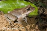 Hylarana daemeli - Wood Frog LLE-667 ©Jiri Lochman - Lochman LT