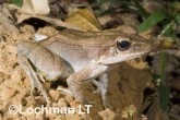 Hylarana daemeli - Wood Frog LLE-670 ©Jiri Lochman - Lochman LT