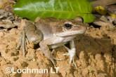 Hylarana daemeli - Wood Frog LLE-672 ©Jiri Lochman - Lochman LT