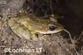 Hylarana daemeli - Wood Frog LLE-673 ©Jiri Lochman - Lochman LT
