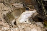 Hylarana daemeli - Wood Frog LLE-674 ©Jiri Lochman - Lochman LT