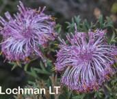 Isopogon dubius Pincushion Coneflower AFE-068 ©Marie Lochman - Lochman LT
