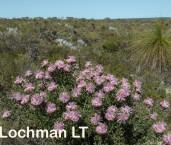 Isopogon dubius Pincushion Coneflower LLO-797 ©Jiri Lochman - Lochman LT