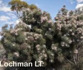 Isopogon gardneri LLP-184 ©Jiri Lochman - Lochman LT