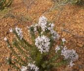 Isopogon inconspicuus Coneflower AFE-046 ©Marie Lochman - Lochman LT