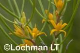 Acidonia microcarpa AFD-560  ©Marie Lochman - Lochman LT
