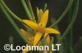 Acinonia microcarpa An Acidonia AJY-050 ©Marie Lochman - Lochman LT.