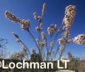 Conospermum acerosum subsp. acerosum AJY-121 ©Marie Lochman - Lochman LT