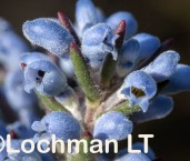 Conospermum amoenum ssp. amoenum Blue Smokebush AFE-313 ©Marie Lochman - Lochman LT