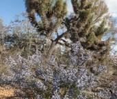 Conospermum amoenum ssp. amoenum Blue Smokebush LLO-603 ©Jiri Lochman - Lochman LT
