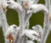 Conospermum boreale AFE-391 ©Marie Lochman - Lochman LT