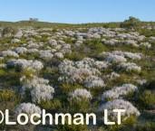 Conospermum boreale LLP-195 ©Jiri LochmanLT