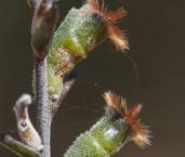 Conospermum croniniae AFE-345 ©Marie Lochman - Lochman LT