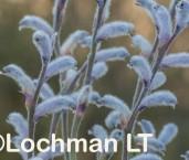 Conospermum distichum AFE-356 ©Marie Lochman - Lochman LT