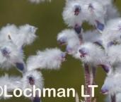 Conospermum floribundum AFE-350 ©Marie Lochman - Lochman LT