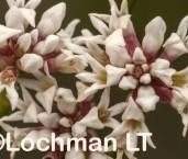 Conospermum leianthum AFE-362 ©Marie Lochman - Lochman LT