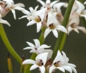 Conospermum leianthum AFE-366 ©Marie Lochman - Lochman LT