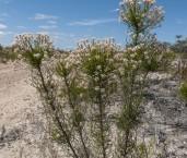 Conospermum leianthum AFE-437 ©Marie Lochman - Lochman LT