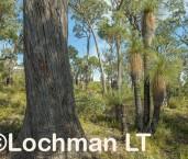Eucalyptus marginata - Jarrah forest AFE-710 ©Marie Lochman LT