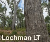 Eucalyptus marginata - Jarrah forest AFE-723 ©Marie Lochman LT