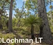 Eucalyptus marginata - Jarrah forest AFE-727 ©Marie Lochman LT